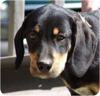 Black and Tan Coonhound/Hound (Unknown Type) Mix Puppy for adoption in Portland, Maine - Nueve