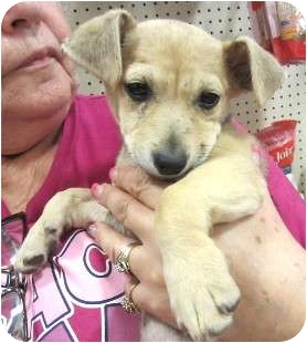 Terrier (Unknown Type, Small)/Chihuahua Mix Puppy for adoption in Schertz, Texas - Indy