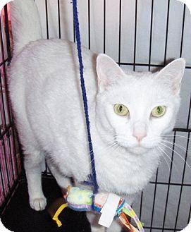 Domestic Shorthair Cat for adoption in Chandler, Arizona - Precious