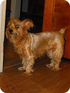 Yorkie, Yorkshire Terrier Mix Dog for adoption in Cincinnati, Ohio - Cassidy