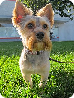 Yorkie, Yorkshire Terrier/Schnauzer (Miniature) Mix Dog for adoption in South Plainfield, New Jersey - Arthur