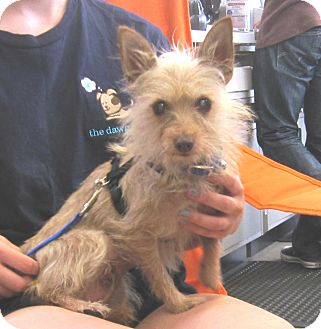Terrier (Unknown Type, Small) Mix Dog for adoption in West Los Angeles, California - Bridgette