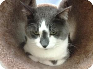 Domestic Shorthair Cat for adoption in Gilbert, Arizona - Majik