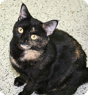 Domestic Shorthair Cat for adoption in Edmonton, Alberta - Lucy