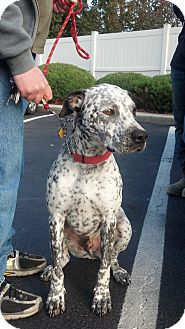 Cattle Dog/Dalmatian Mix Dog for adoption in Conesville, Ohio - Walli
