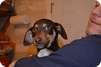 Dachshund Mix Puppy for adoption in Westminster, Colorado - Westin