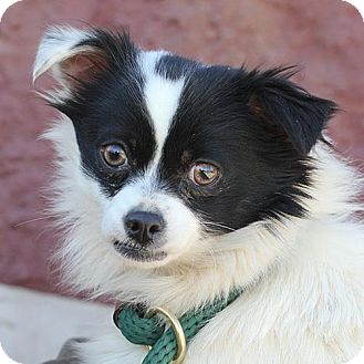 Papillon Mix Dog for adoption in Springfield, Illinois - Mick
