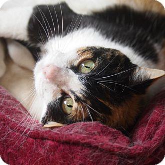 Calico Cat for adoption in Coronado, California - Snickerdoodle