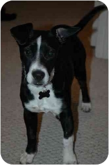 Boston Terrier/Jack Russell Terrier Mix Dog for adoption in Provo, Utah - Z.Z. Sausage