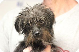 Maltese/Miniature Schnauzer Mix Puppy for adoption in Waterbury, Connecticut - Miami