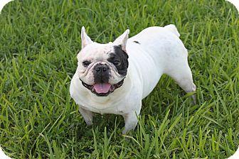 French Bulldog Dog for adoption in Pompano Beach, Florida - BOODAH