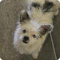 Adopt A Pet :: Perriwinkle - bright blue eyes - Phoenix, AZ