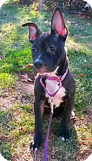 Pit Bull Terrier/Boxer Mix Puppy for adoption in Southampton, Pennsylvania - Raven