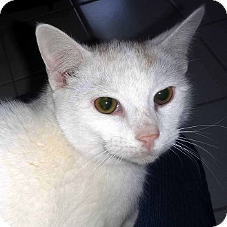 Domestic Shorthair Cat for adoption in McCormick, South Carolina - Louie