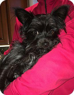Affenpinscher/Yorkie, Yorkshire Terrier Mix Dog for adoption in Pleasanton, California - Tyson