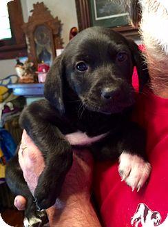 Labrador Retriever/Border Collie Mix Puppy for adoption in ST LOUIS, Missouri - MARSHA