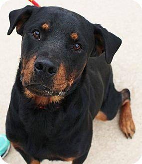 Rottweiler Dog for adoption in Lisbon, Iowa - Beau