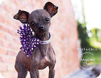 Chihuahua Dog for adoption in Shawnee Mission, Kansas - Pistachio