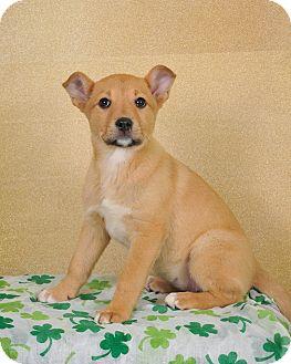 Labrador Retriever/German Shepherd Dog Mix Puppy for adoption in Colmar, Pennsylvania - Lucy