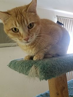 Domestic Shorthair Cat for adoption in San Bernardino, California - Buffy