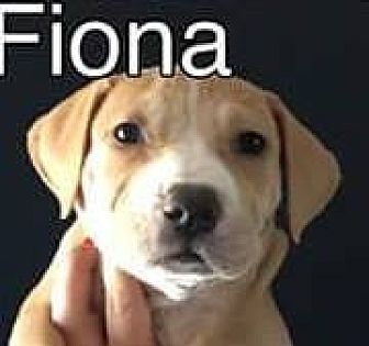 Pit Bull Terrier Mix Puppy for adoption in PEORIA, Arizona - Fiona