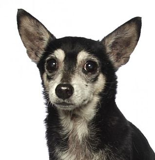 Chihuahua Dog for adoption in oakland park, Florida - Ziggy
