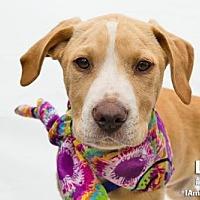 Adopt A Pet :: Calvin - Washington, DC