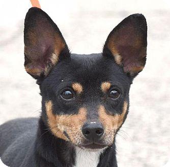 Dachshund/Miniature Pinscher Mix Dog for adoption in New Haven, Connecticut - POPEYE