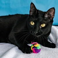 Domestic Shorthair Cat for adoption in Houston, Texas - Beastie