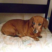 Adopt A Pet :: Belle - Lubbock, TX