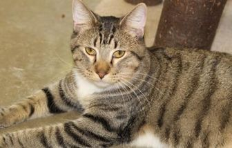 Domestic Shorthair/Domestic Shorthair Mix Cat for adoption in Quincy, Illinois - Tallie(Amadeus)