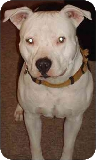 Staffordshire Bull Terrier Dog for adoption in Gilbert, Arizona - Casper