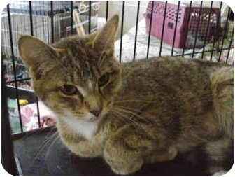 Domestic Shorthair Cat for adoption in Colmar, Pennsylvania - Butterscotch