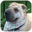 Photo 3 - Shar Pei Dog for adoption in Barnegat Light, New Jersey - Liza