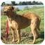 Photo 2 - Redbone Coonhound/Rhodesian Ridgeback Mix Dog for adoption in Berkeley, California - Hannah