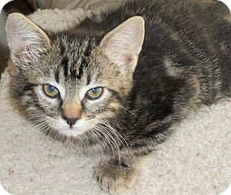 Domestic Shorthair Kitten for adoption in North Highlands, California - Rosa