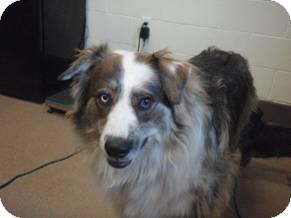 Australian Shepherd Mix Dog for adoption in Tustin, California - Dusty