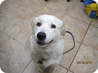 Great Pyrenees Mix Dog for adoption in Collinsville, Oklahoma - Shelley