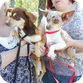 Chihuahua Mix Dog for adoption in Portland, Maine - Melinda & Melody