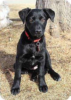 Retriever (Unknown Type) Mix Puppy for adoption in Westminster, Colorado - Bejing