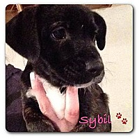 Adopt A Pet :: Sybil - Maryville, IL