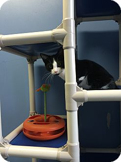 Domestic Shorthair Kitten for adoption in Germantown, Tennessee - Moo Moo