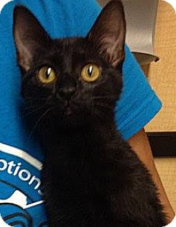 Domestic Shorthair Cat for adoption in Weatherford, Texas - Jade