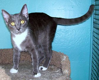 Domestic Shorthair Cat for adoption in Scottsdale, Arizona - Prada