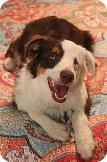 Australian Shepherd Puppy for adoption in Staunton, Virginia - Finnegan