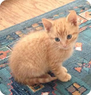 Domestic Shorthair Kitten for adoption in Hamilton, Ontario - Hank