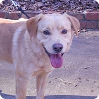 Adopt A Pet :: BOOMER - Raleigh, NC