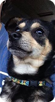 Fox Terrier (Toy)/Chihuahua Mix Dog for adoption in Salem, Oregon - Little Scooby