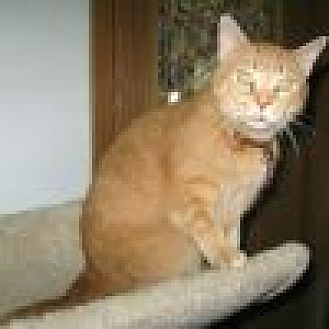 Domestic Shorthair Cat for adoption in Powell, Ohio - Hunny