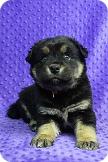 Collie/Shepherd (Unknown Type) Mix Puppy for adoption in Westminster, Colorado - Rod